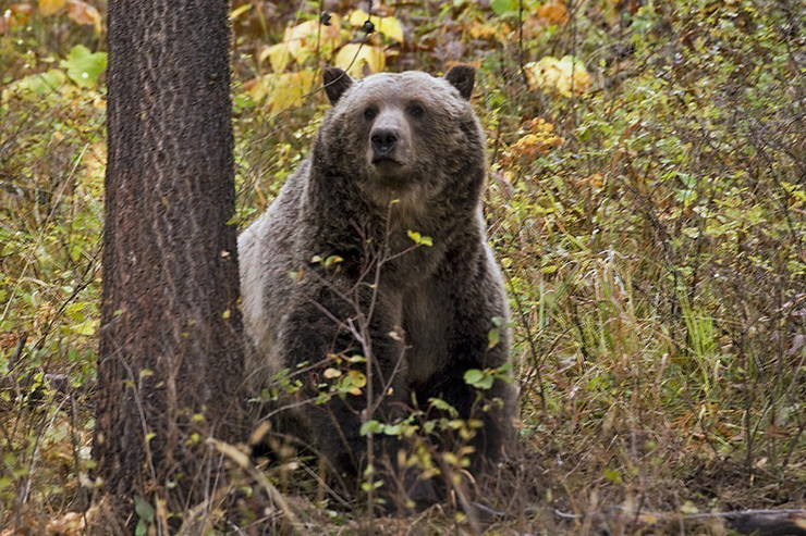 Томислав Крсмановић: Медвед са планине Медведник